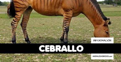 CEBRALLO