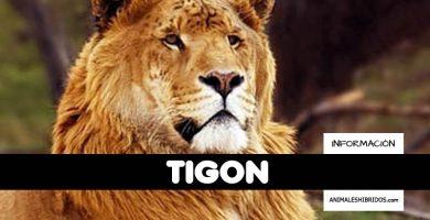 TIGÓN
