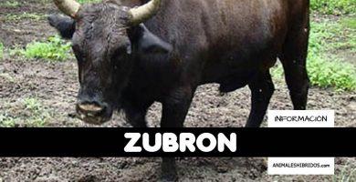 ZUBRÓN